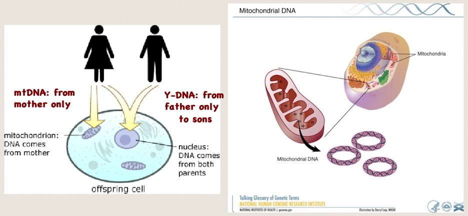 Y-DNA and mtDNA ++